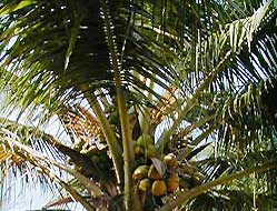 Coconut Palm - Kerala