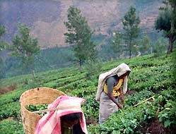 Tea Picker Women in the fields