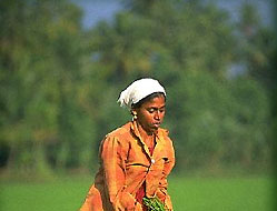 Woman Harvesting in Rice Fields